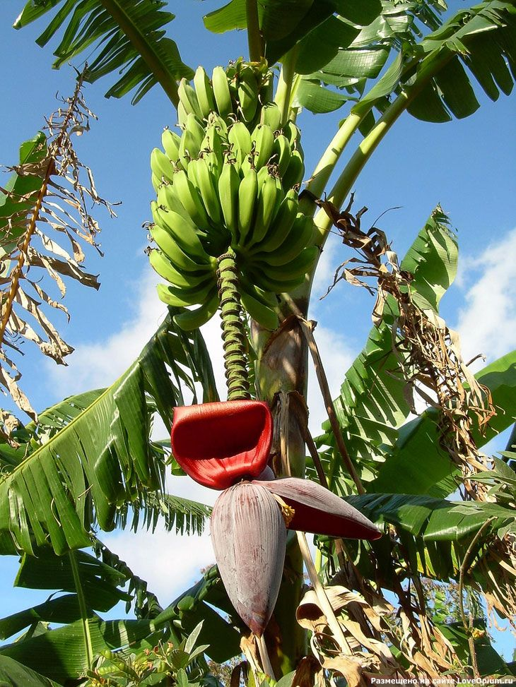 Essay about banana tree
